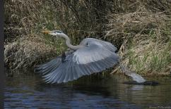 great-blue-heron-nature